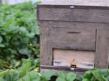 ミツバチの導入イメージ